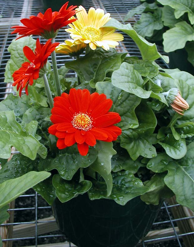 Image Result For How To Plant And Grow Gerbera Daisy Seeds