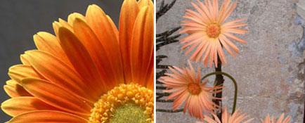 barberton-daisy-gebera-daisy
